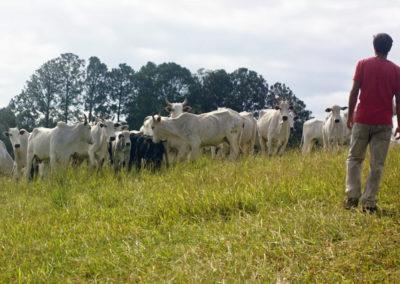 Proprietário rural com o gado em área com Manejo de Pastagem Ecológica, em Bragança Paulista